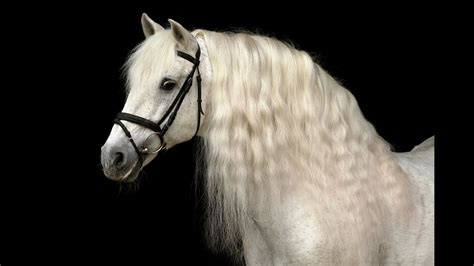 andalusian horse breeders presenting fairytale