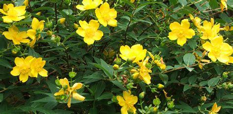 bush yellow flowers in summer shrubs