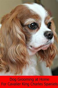dog grooming at home for cavalier king charles spaniels With dog grooming at home