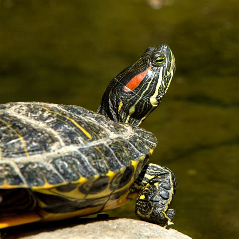 eared turtle red eared slider turtleholic