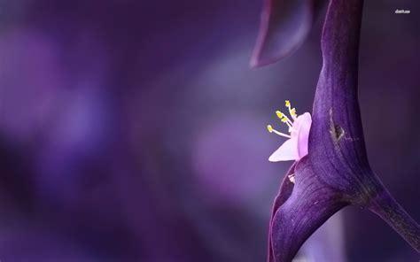 violet flower wallpapers hd wallpapers pulse