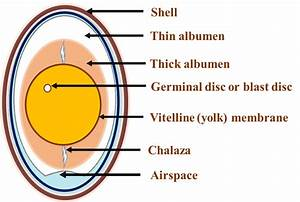 Schematic Diagram Of Egg Anatomy