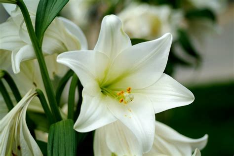 pictures of lilies flowers lily flower white candid lily