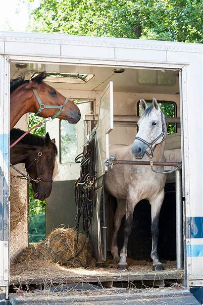 Horse Trailer Horses Tall Standing Three Trailers