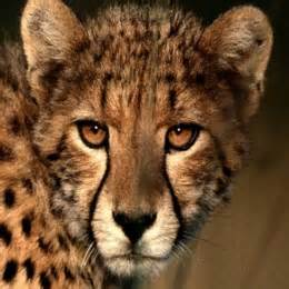 list of big cats list of big cats types names species bigcatswildcats