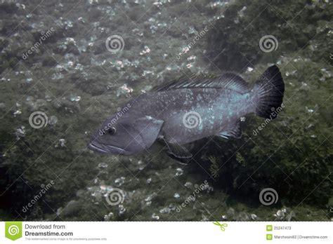 grouper preview underwater