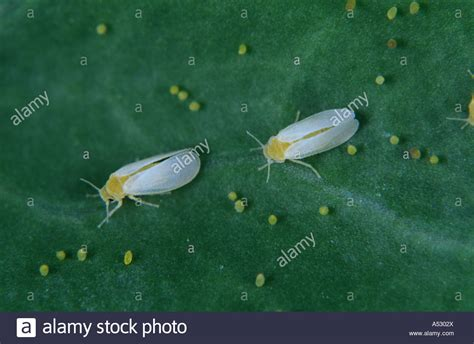 http://www.alamy.com/stock-photo-cotton-whitefly-bemisia-tabaci-adults-with-individual-eggs-on-a-leaf-11179873.html