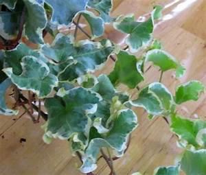 Efeu Pflanzen Kaufen : hedera helix 39 curly variegated 39 efeu pflanzen versand ~ Michelbontemps.com Haus und Dekorationen