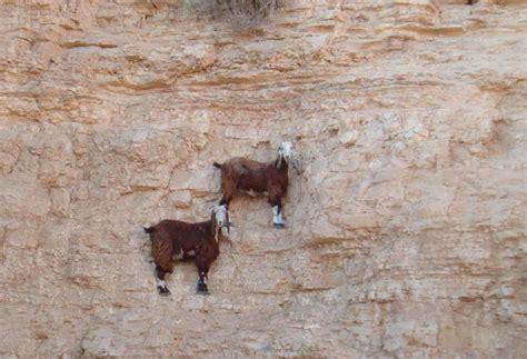 Photos Crazy Goats On Cliffs  Sick Chirpse