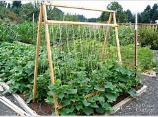 Five Reasons To Grow Cucumbers On A Trellis And Taking Up