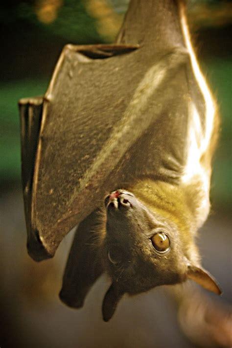 images  bats  pinterest hanging upside