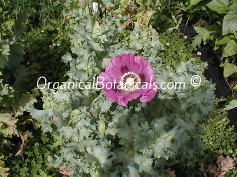 poppy seed pods planting papaver somniferum poppies late season or hot weather organical botanicals