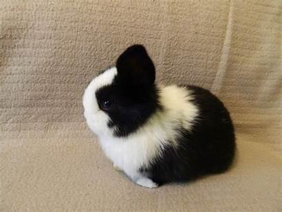 Mini Lop Bunny Rabbits Adorable Eyed Dartford
