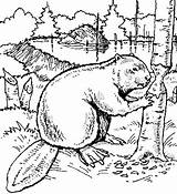 Beaver Coloring Pages Animals Wood Printable Dam Drawing Animal Drawings Beavers Colouring Canada Sheets Bever Scouts Castor Books Line Exotic sketch template