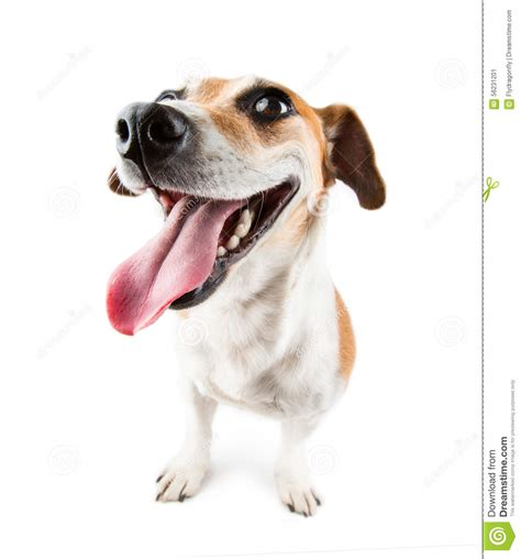 Happy Dog Jack Russel Terrier With Huge Smile Stock Image ...