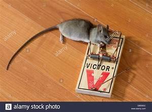 Rat Trap With Caught Black Rat  Rattus Rattus   Florida