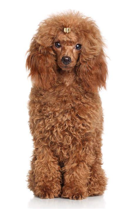 caniche nain chiens informations sur les races omlet
