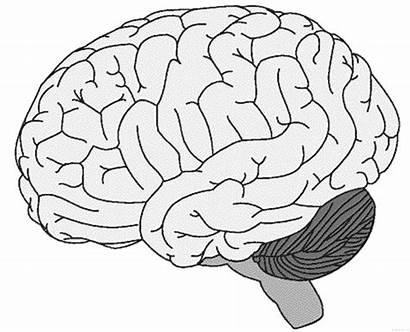 Colorear Cerebro Brain Coloring Dibujo Dibujos Humano