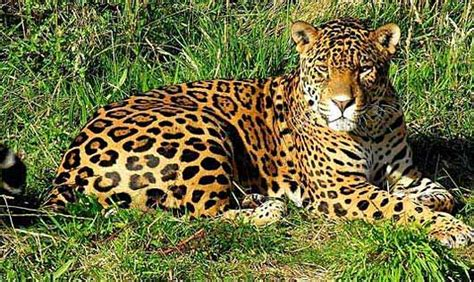 Largest Of The Big Cats In The Americas