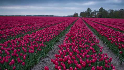 tulips bed farm hd tulips farm near the creil town beautiful morning scenery in netherlands europe full hd video