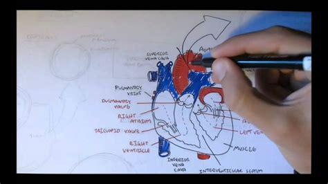 cardiovascular system anatomy youtube