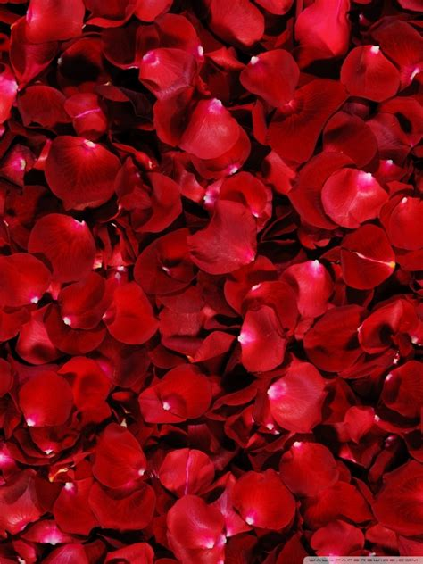 red rose petals ultra hd desktop background wallpaper