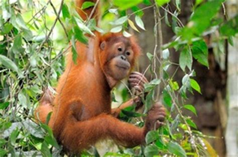 biotic and abiotic saving the sumatran orangutan