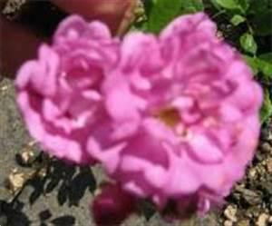 Alte Rosensorten Stark Duftend : rosensorten duftrosen hei heide feuer kind ~ Michelbontemps.com Haus und Dekorationen