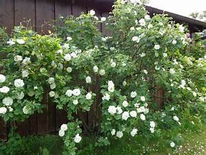 Rose Mein Schöner Garten : historische rosen 2014 seite 58 rund um die rose ~ Lizthompson.info Haus und Dekorationen