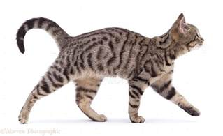 walking a cat cats walk with a pacing gait they move both legs on one