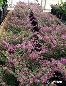 Mexican Heather Flower - Flowers Ideas For Review