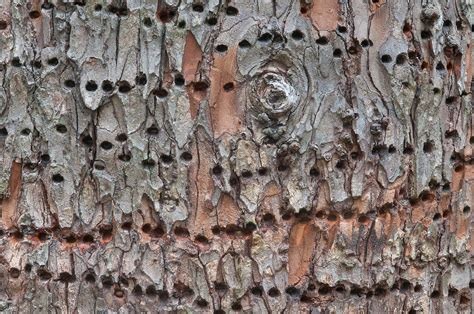 raccoon damage tree bark search in pictures