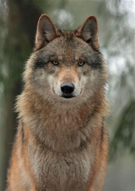 adopt  wolf  world animal foundation