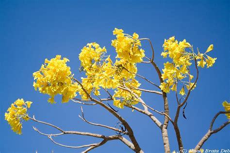 tree with yellow flowers some yellow flower tree plant nature photos aminus3 of shuva
