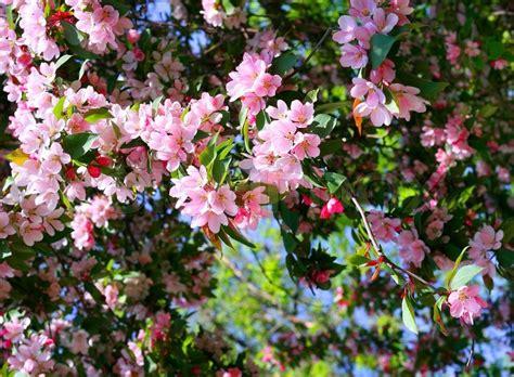 baum mit rosa blüten bl 252 henden baum mit rosa sch 246 nen blumen stockfoto colourbox