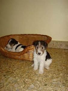 Cachorro Fox Terrier Wire - Divino    En Buenos Aires   Mascotas