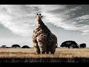 World fattest animal - YouTube