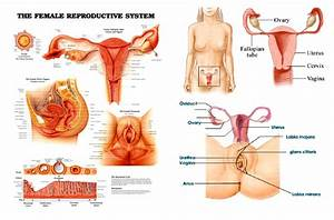 Anatomy Of The Female Reproductive System  U2013 Ourdiagnosis