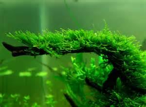 all about betta fish christmas moss in a drift wood