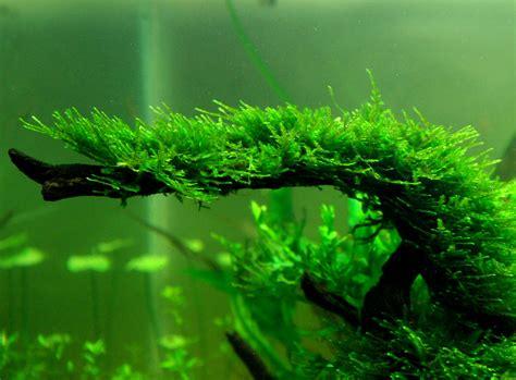 shao s aquarium in hawaii mosses