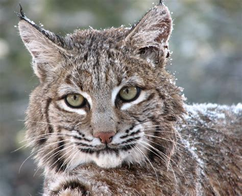 Are There Bobcats In Niagara?