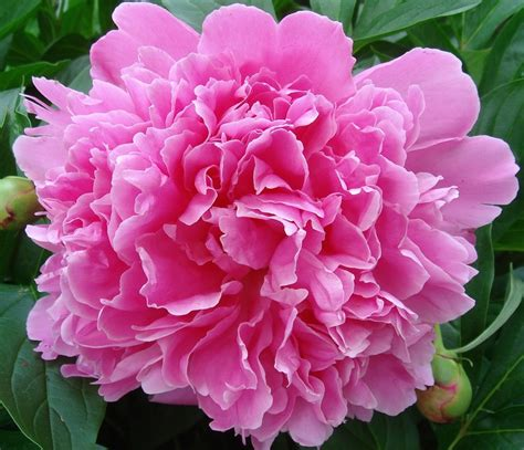 growing peonies in florida peony indiana state flower state flowers pinterest nice oregon and pink