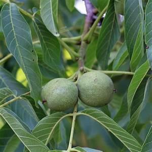 Walnussbaum Selber Pflanzen : walnussbaum pflanzung pflege und tipps informationen ~ Michelbontemps.com Haus und Dekorationen