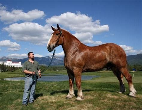 draft belgian horses horse hands giant washington strongest belgium zeus feet mount tall breed inches he largest pounds ready game