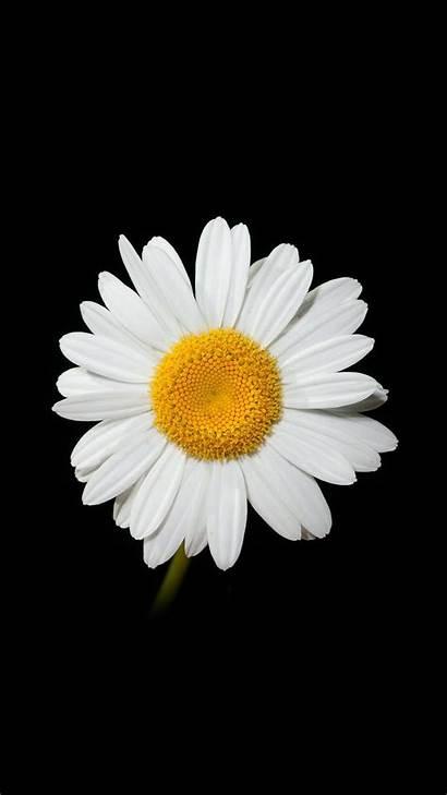 Daisy Flower Iphone Wallpapers Nature Flowers Dark