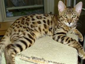 bengal cat rescue purebred bengal kittens for adoption from belleville