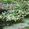 More Hardy Bog Plants - Hardy Bog Plants