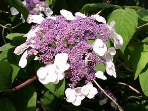 Hydrangea Macrophylla Winterhart : fellhortensie samthortensie 39 macrophylla 39 hydrangea ~ Michelbontemps.com Haus und Dekorationen