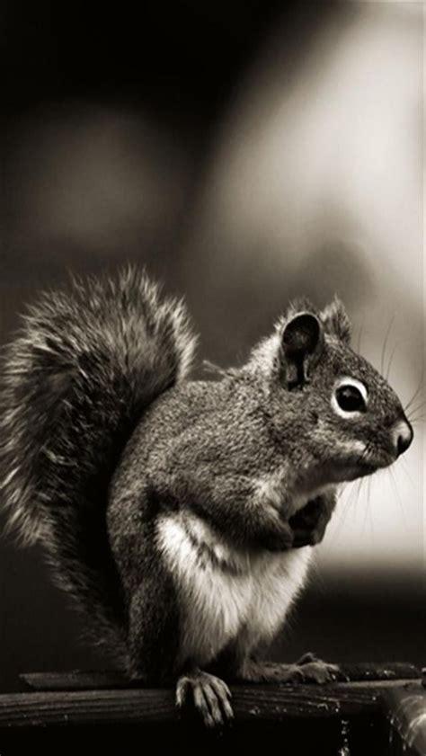 Vintage Animal Wallpaper - vintage squirrel animal iphone wallpapers iphone 5 s 4 s