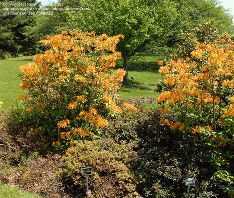 Golden Lights Azalea by Plantfiles Pictures Rhododendron Azalea Golden Lights